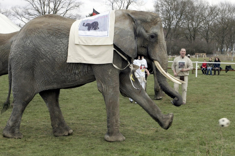 <p>Citta the elephant kicks a soccer ball at the Platschow, Germany, elephant farm on April 11, 2006. Citta, now living in Poland, will help predict winners of the Euro 2012 soccer championships.</p>