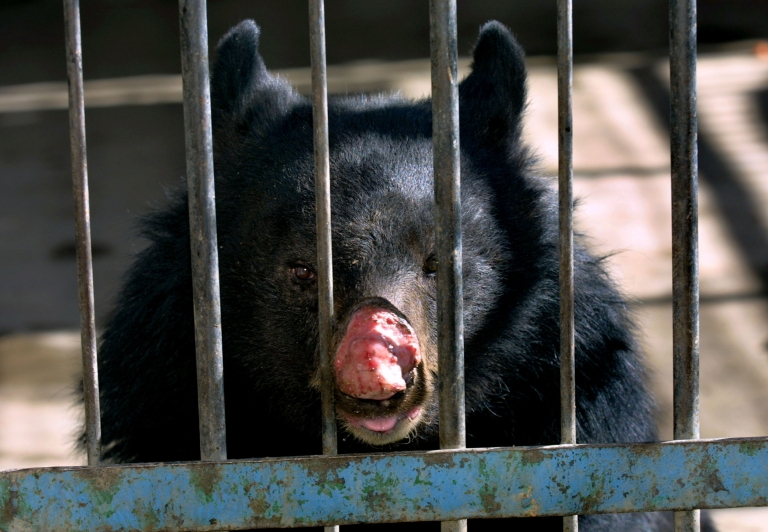 <p>A town in Newfoundland, Canada have been besieged by hungry black bears.</p>