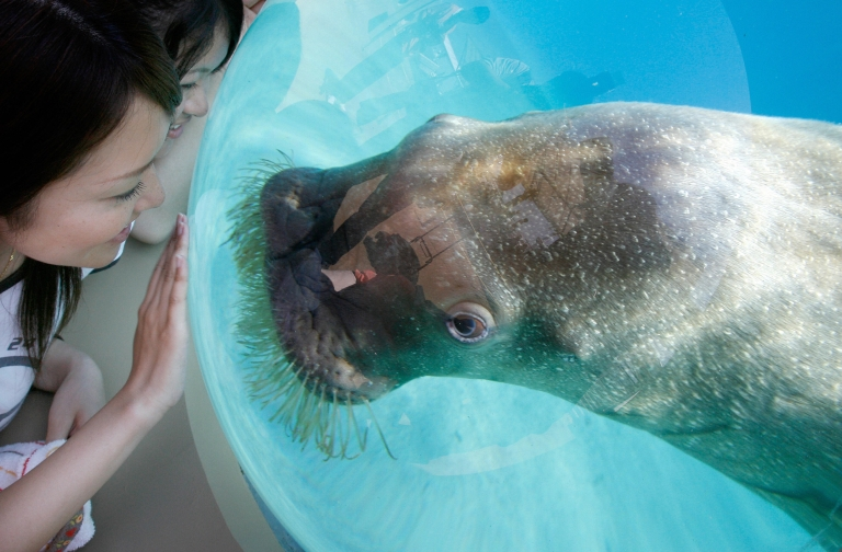 <p>A playful baby walrus amuses visitors at a wildlife center.</p>