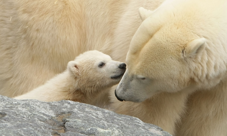 <p>A new study suggests the polar bear species may be four million years old.</p>