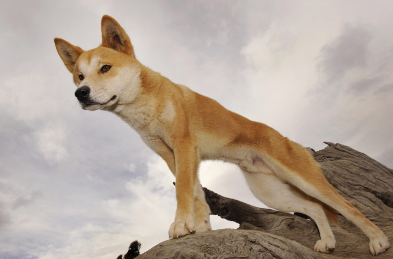 <p>A Dingo stands in an enclosure at the Dingo Discovery and Research Center at the Toolern Vale in rural Victoria, near Melbourne, where she is breeding dingoes for export to zoos around the world, on May 25, 2009.</p>