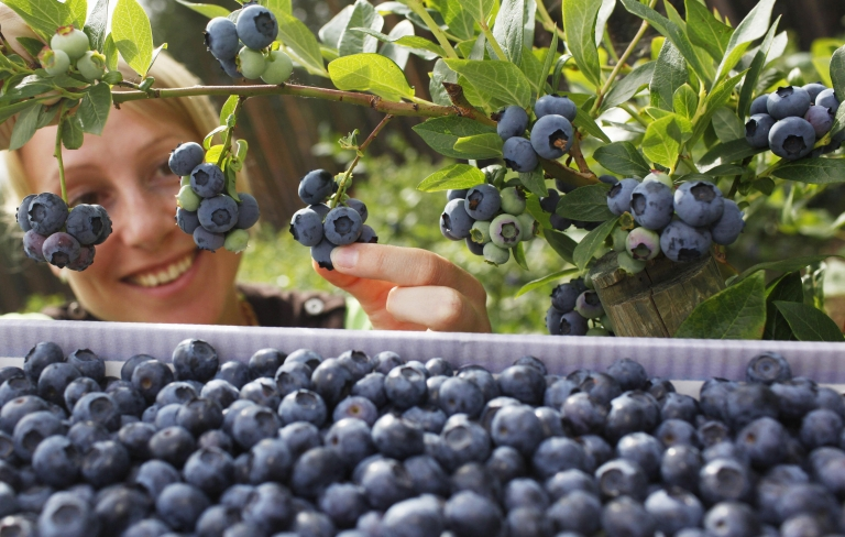 <p>A blueberry bush.</p>