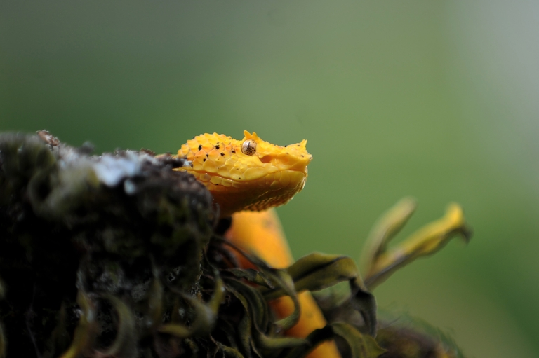 <p>A South American pitviper — this one, a poisonous Eyelash palm-pitviper, pictured at the serpentarium of the Clodomiro Picado Institute in Coronado, some 8 kilometers northwest of San Jose, Costa Rica.</p>