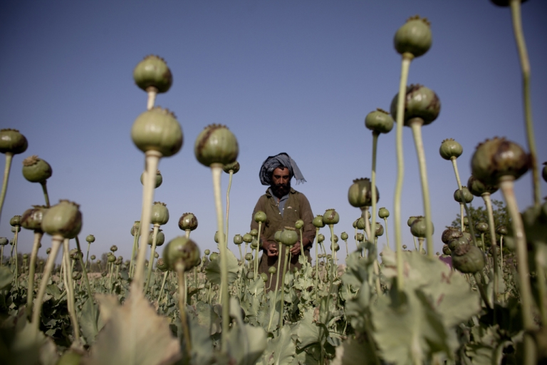 <p>An Afghan man cultivates poppy bulbs at a farm in early May, 2011 near the city of Kandahar, Afghanistan. Myanmar is second to Afghanistan in opium production, according to a UN report released Oct. 31, 2012.</p>