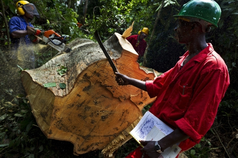 <p>Sustainable logging being carried out in the natural forest around the Alpicam logging concession in the Kika region of Cameroon, June 8, 2010. This is a sustainable logging project but a great deal of Africa's forests are being stripped by illegal logging, according to a new report by the World Bank.</p>