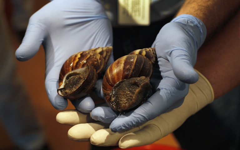 <p>Giant African land snails are shown to the media as the Florida Department of Agriculture and Consumer Services announces it has positively identified a population of the invasive species in Miami-Dade county on September 15, 2011 in Miami, Florida. The Giant African land snail is one of the most damaging snails in the world because they consume at least 500 different types of plants, can cause structural damage to plaster and stucco, and can carry a parasitic nematode that can lead to meningitis in humans. An effort to eradicate the snails is being launched. The snail is one of the largest land snails in the world, growing up to eight inches in length and more than four inches in diameter.</p>
