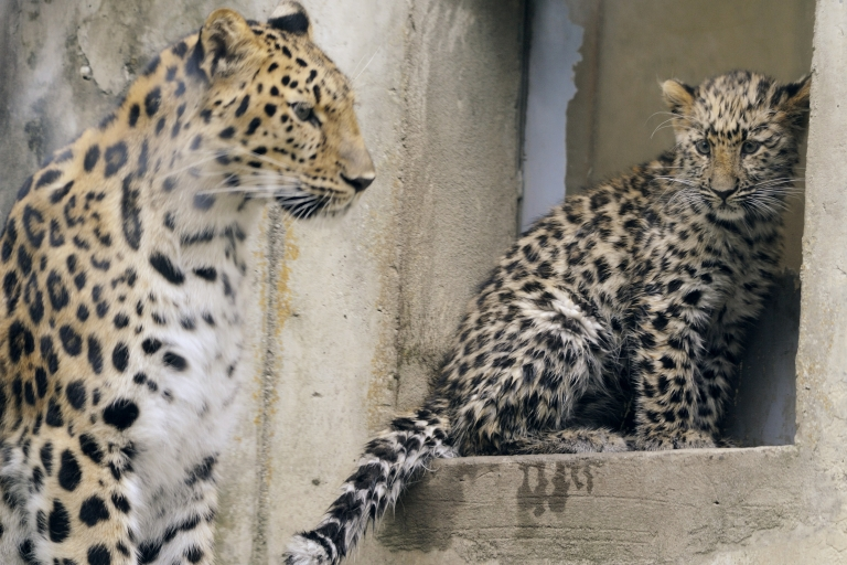 <p>'Kathanga', a four-month-old Amur leopards (Panthera pardus orientalis) explores its enclosure next to its mother on July 8, 2011 at the zoo in Mulhouse, northeastern France. Every year there are about 250 to 350 births at the Mulhouse zoo. Some young animals, once weaned, can be introduced in protected zones of their original region. If not, they go to other zoos to make up other families. Genetic mixing is necessary for the animals' health and the survival of the species.</p>