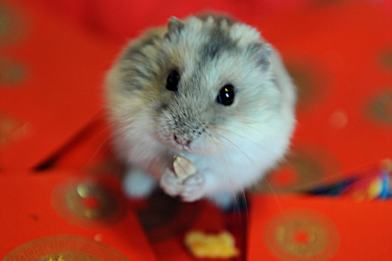 <p>He may look cute, but a new Australian medical paper warns that kissing rodents can give you streptobacillus moniliformis</p>