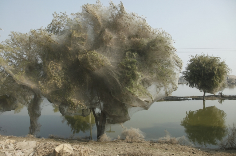 <p>Following the 2010 floods in Sindh, Pakistan, spiders climbed into branches and covered entire trees in silk. A similar phenomenon seems to be occurring in Wagga Wagga, Australia.</p>