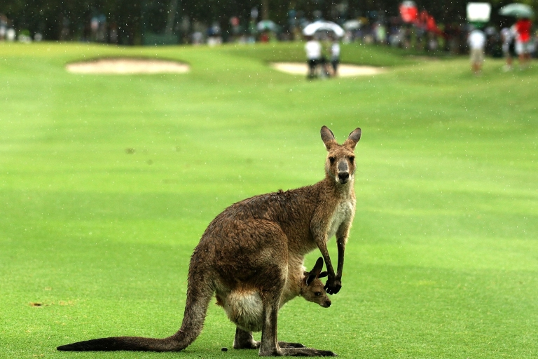 <p>A kangaroo and it's joey are seen on the fairway during day four of the Australian PGA Championship at the Hyatt Regency Coolum on December 12, 2010 at the Sunshine Coast, Australia.</p>