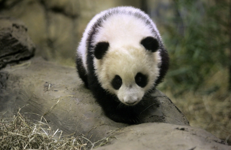 <p>Meet Mei Xiang first baby cub, Tai Shan, born Born on July 9, 2005 at the Smithsonian National Zoological Park in Washington, DC.</p>