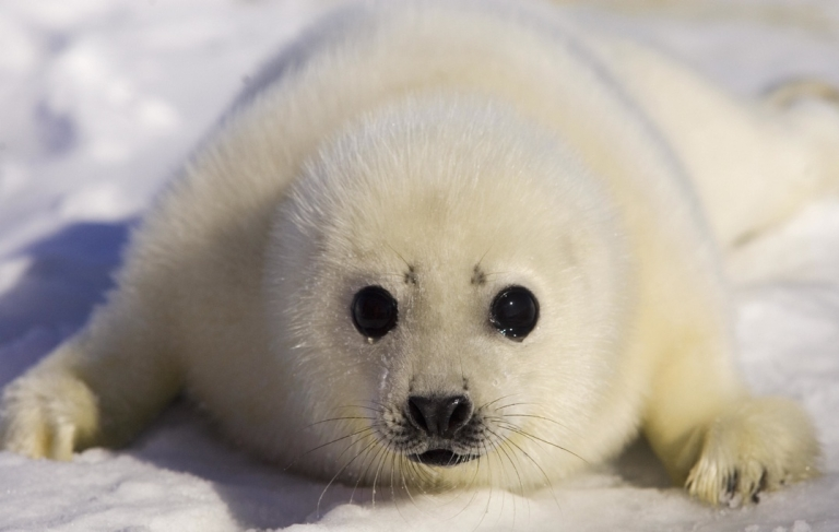 <p>A baby seal in Charlottetown, Canada mugs for the camera.</p>