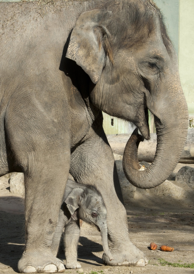 <p>Win Thida, a Burmese elephant in Amsterdam, was fitted for a contact lens after injuring her eye.</p>