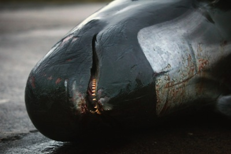 <p>A dead pilot whale beached on May 21, 2011 in Scotland.</p>