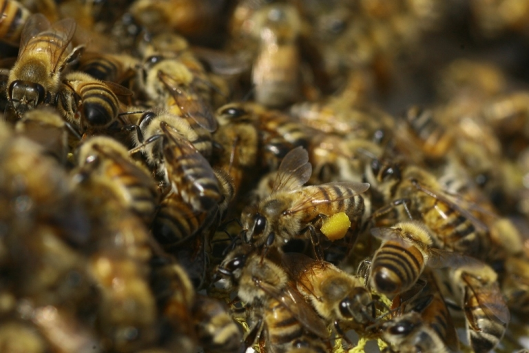 <p>Tens of thousands of bees swarmed a Texas home late Wednesday, reportedly killing two horses, five hens and injuring the couple residing there. Here, bees at an apiary near the central Gaza Strip refugee camp of Bureij on April 19, 2010.</p>
