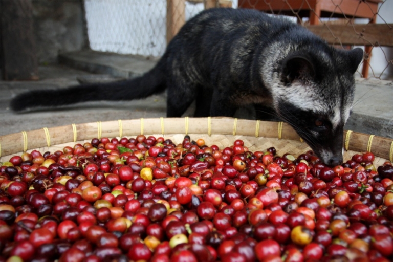 <p>A civet eating coffee on August 11, 2009 in East Java, near Surabaya, Indonesia. Not the the maqui but cute nonetheless.</p>
