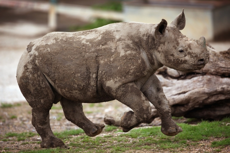 <p>A 6-month-old Black Rhino calf plays in its enclosure at Lympne Wild Animal Park on June 21, 2011, in Hythe, England.</p>