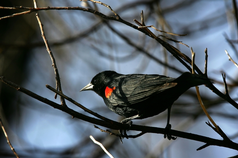 <p>A red-winged blackbird perches in the charred branches of a wildfire-burned tree near Gorman, Calif., on May 18, 2007.</p>