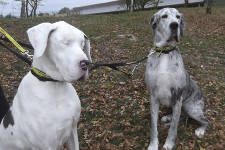 <p>Lily the Great Dane with no eyes and Maddison, her guide dog, are being cared for by the Dogs Trust, a UK dog welfare charity.</p>