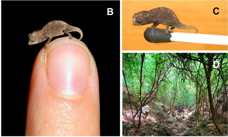 <p>Brookesia micra chameleons live in the remote forests of Madagascar. The juveniles are small enough to fit on the head of a match.</p>