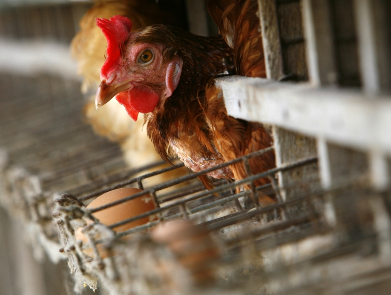 <p>SUPHANBURI-THAILAND-JANUARY 27:  A chicken peers out of its cage at the Sanoh chicken farm January 27, 2006 in Suphanburi, Thailand.</p>