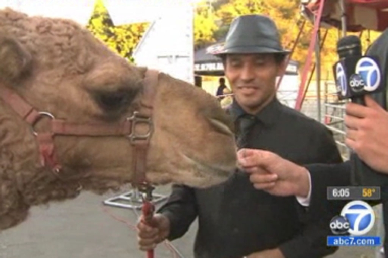 <p>Atula the camel greets adoring Los Angeles media after escaping from the Ramos Bros. Circus in California on Friday, November 24, 2012.</p>