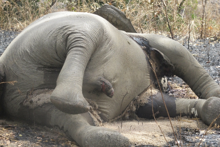 <p>A picture taken on February 23, 2012 shows an elephant that was killed by poachers in northern Cameroon near the border with Chad. Park officials said nearly 500 elephants have been killed in the national park in the previous two months by poachers from Sudan and Chad, according to AFP.</p>
