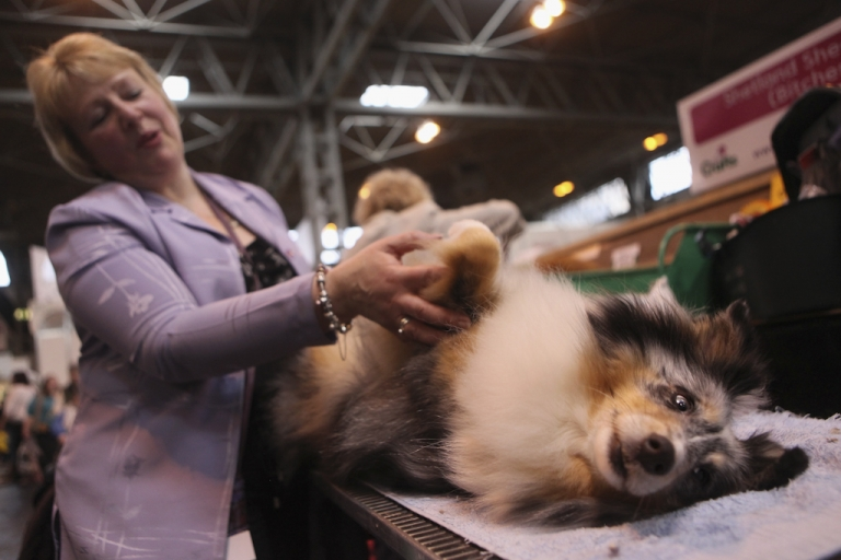 <p>A woman grooms her Shetland Sheepdog on the second day of the annual Crufts dog show at the National Exhibition Centre on March 11, 2011 in Birmingham, England.</p>