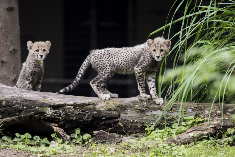 <p>Three-month old cheetah cubs make their public debut at the Smithsonian National Zoo on July 24, 2012 in Washington, DC.</p>
