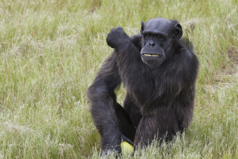 <p>A chimpanzee at Jane Goodall's Chimp Eden sanctuary in South Africa.</p>