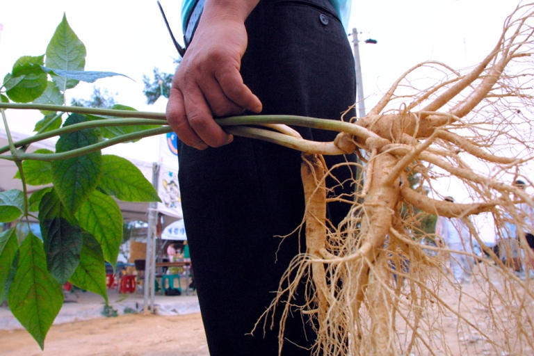 <p>A South Korean man holds a ginseng plant in Geumsan, south of Seoul.</p>
