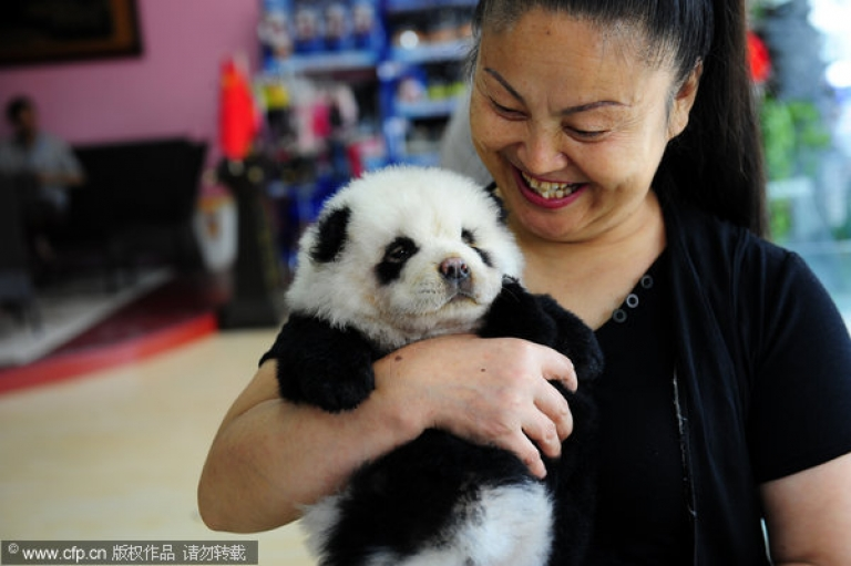 <p>These chow chow dogs have been styled to look like pandas in Xi'an, Shaanxi province on June 18, 2011.</p>