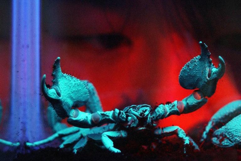 <p>A rare six-inch Asian Emperor Scorpion.</p>
