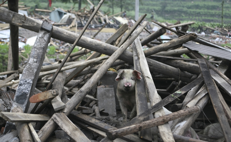 <p>A pig looks out from the debris of a collapsed house in the aftermath of the May 12, 2008 earthquake that rocked China's Sichuan province. More than 90,000 people died or went missing in the 8.0 magnitude quake.</p>