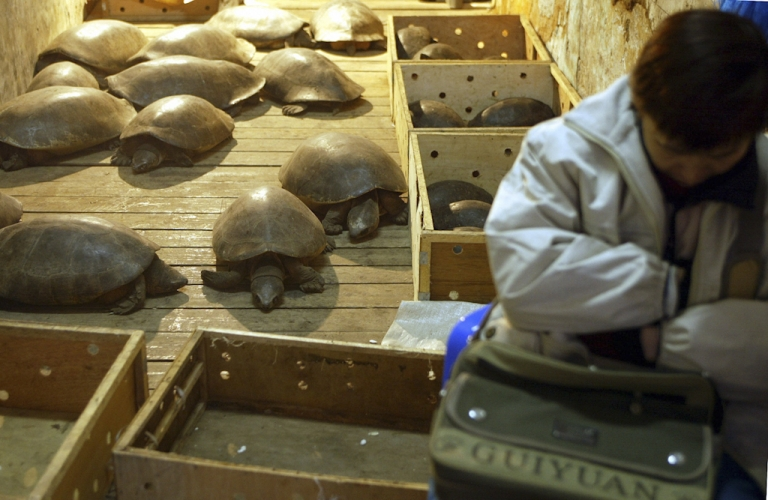 <p>A vendor sleeps next to giant tortoises she sells for eating in a market in Guangzhou, China. The rare tortoises are around twenty years old and sell for $150 each.</p>