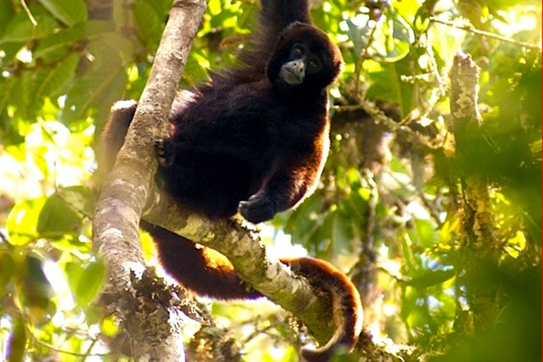 <p>The endangered yellow-tailed woolly monkey</p>