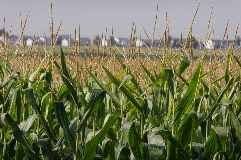 <p>Corn grows in a field near Roscoe, Ill.</p>
