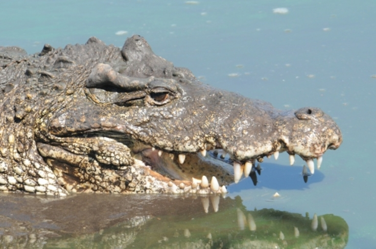 <p>A large crocodile held a man captive for two weeks on an island off of Western Australian.</p>