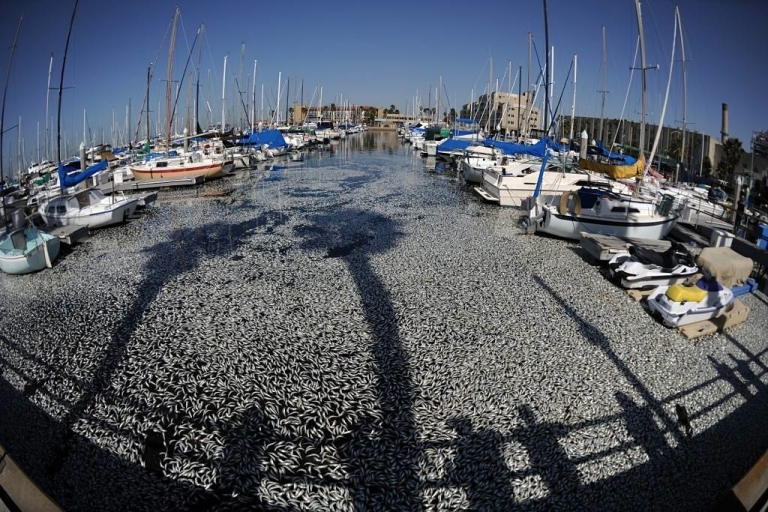 <p>Experts believe a lack of oxygen resulted in millions of dead anchovies floating in a marina in Los Angeles, California last March.  The International Programme on the State of the Ocean (IPSO) reported that human pollution and overfishing are two of many factors leading to the depletion of marine life at a faster rate than previously estimated.</p>