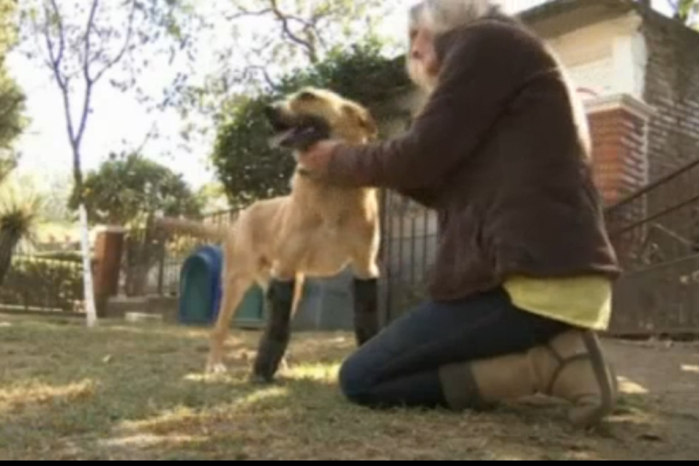 <p>A dog that was tortured and mutilated by Mexican drug traffickers gets a new lease on life with prosthetic legs.</p>