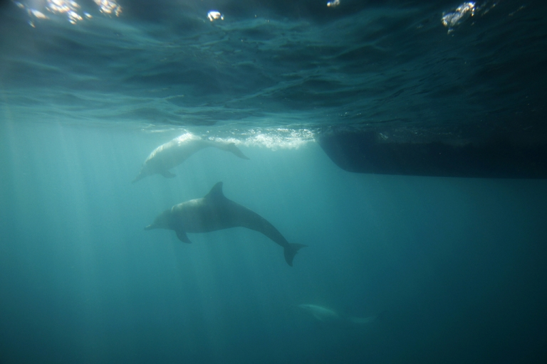 <p>Bottlenose dolphins swim ahead of the bow of a boat off the southern California coast near Dana Point, California.</p>