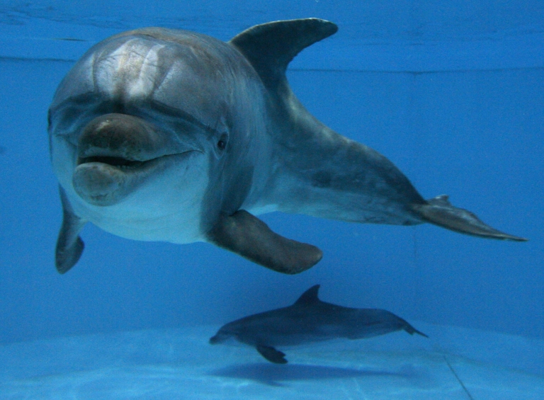 <p>Two dolphins swim in their pool at the zoo of Nuremberg, southern Germany, on November 26, 2008.</p>