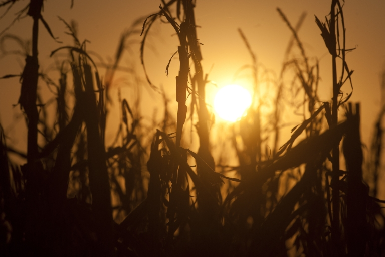 <p>Severely damaged corn stalks due to a widespread drought are seen at sunset on a farm near Oakland City, Indiana, Aug. 15, 2012. Record heat throughout the US farm belt states have curtailed crop production and likely will send corn and soybean prices to record highs, according to the US Department of Agriculture.</p>