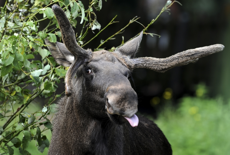 <p>A moose stands at a zoo in western Germany on August 23, 2011. The animal, also known as Eurasian elk, lives in the wild in boreal and mixed deciduous forests of the northern hemisphere. An apparently intoxicated moose has been found tangled in an apple tree in Sweden.</p>
