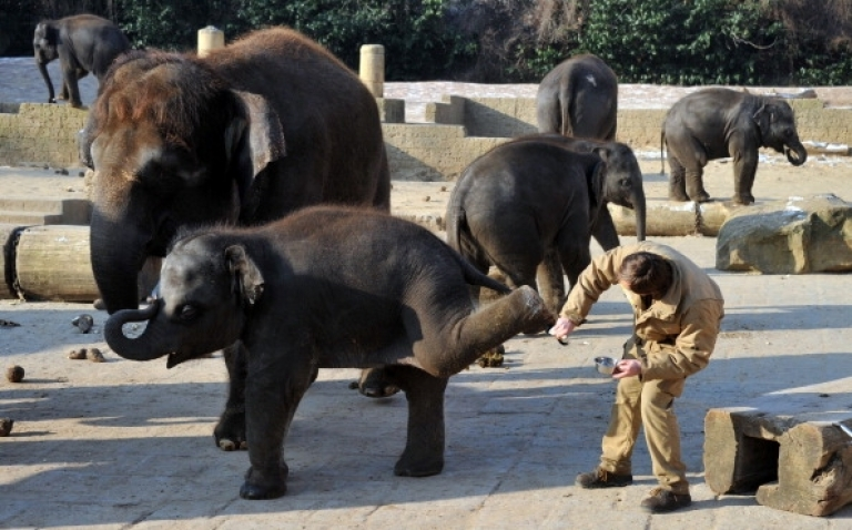 <p>Elephants in captivity are becoming too inbred. Researchers hope insemination with frozen wild elephant sperm solves the problem. Here, a keeper cares for the sensitive skin of one-year old baby elephant Dinkar at the zoo in Hanover, central Germany, on January 31, 2012.</p>
