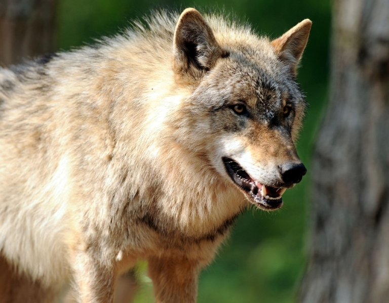 <p>A young wolf at the Wolfcenter in Doerverden, Germany.</p>