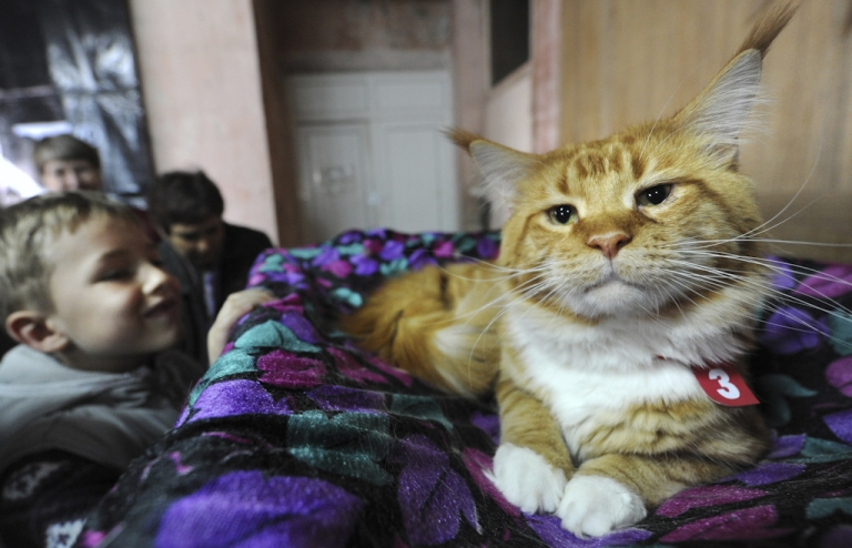 <p>A regal Maine Coon Cat - the same breed as the recently deceased record-holder Stewie — poses at a show in Bishkek on March 18, 2012.</p>
