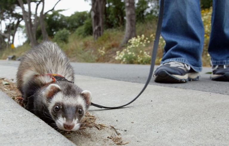 <p>Angela Guglielmino walks a Ferret on a leash at the San Francisco Zoo on June 13, 2003.</p>