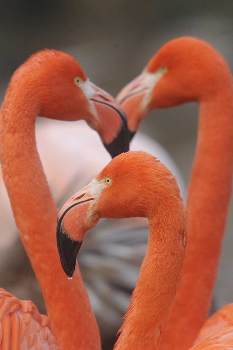 <p>At least 55 flamingos were found dead in a zoo outside Paris due to the freezing weather.</p>