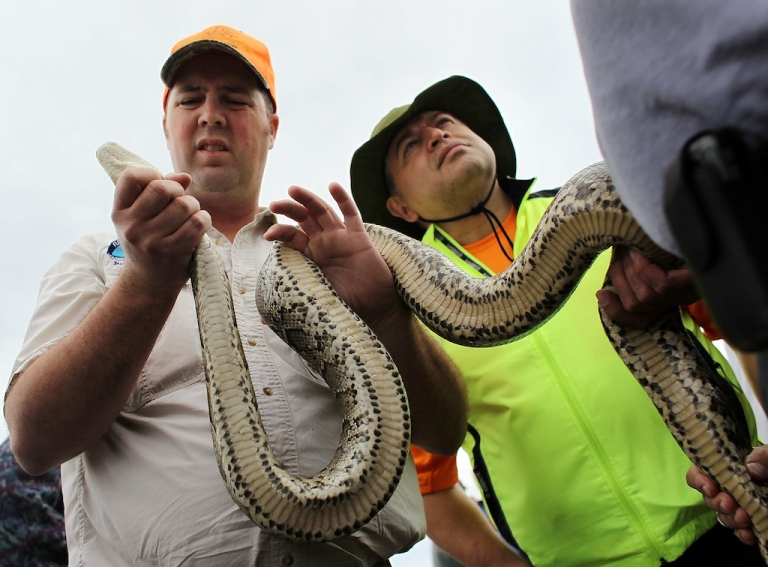 <p>Brian Jones (L) and Ismael Vasquez hold a Burmese Python that was being used for hands on training during a Florida Fish and Wildlife Conservation Commission nonnative snake hunt training session on February 22, 2010 in Miami, Florida.</p>